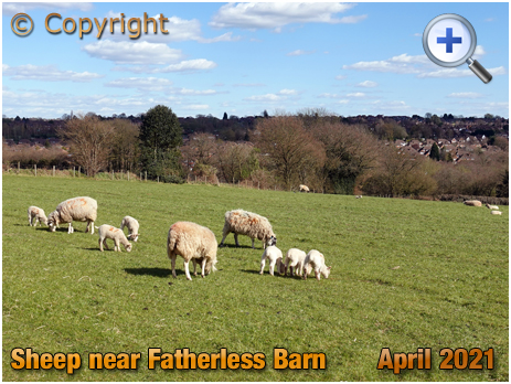 Cradley and Halesowen : Sheep from Lutley Mill Farm [2021]