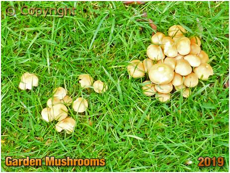 Garden Mushrooms [October 2019]