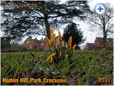 Old Hill : Crocuses at Haden Hill Park [2021]