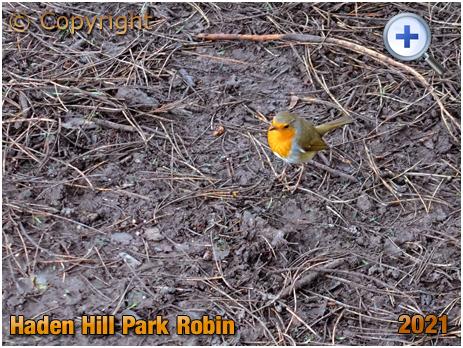 Old Hill : Robin at Haden Hill Park [2021]