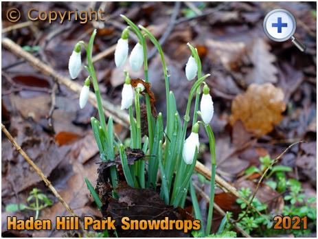 Old Hill : Snowdrops at Haden Hill Park [2021]