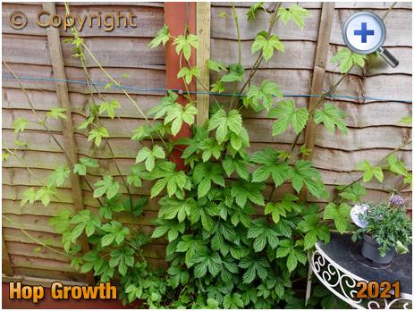 Hop Growth [2021]
