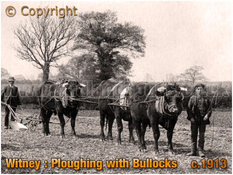 Witney : Ploughing with Bullocks [c.1913]